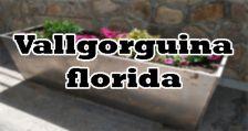 vallgorguina florida